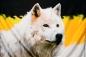 """Имперский флаг """"Волк"""" фотография"""